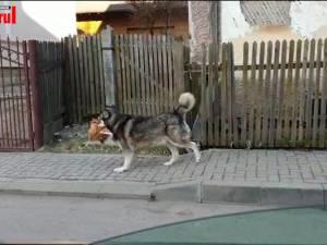Video viral Un câine care se plimba cu o găină în gură, pe străzile din Câmpulung, vedetă online