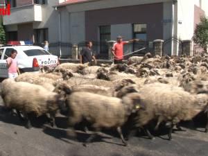 Cu turma de oi printre maşini, pe străzile din Rădăuţi