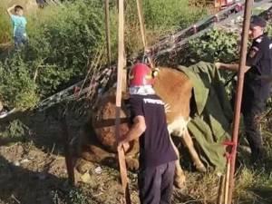 Pompierii au scos dintr-un canal o vacă de 350 de kilograme