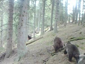 Trei urși care merg în șir indian în Parcul Național Călimani, vedete pe internet