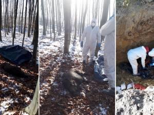 Vânătorii au împușcat 11 mistreți suspecți că s-au infectat cu pestă porcină