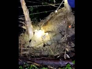 Ursoaică prinsă într-un laț, eliberată în urma unei operațiuni dificile, la Broșteni